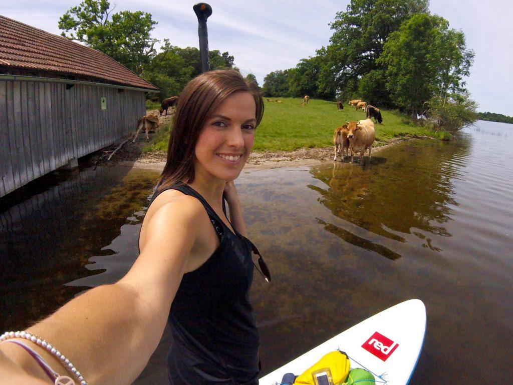 Staffelsee - Kühe